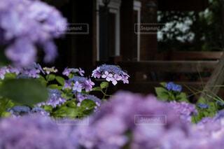 紫陽花とロッジの写真・画像素材[4565319]