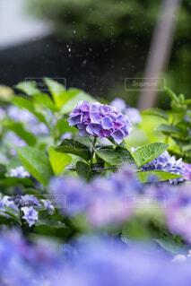雨の日の紫陽花の写真・画像素材[4598268]