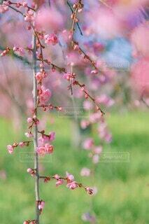 梅の花の写真・画像素材[4413177]