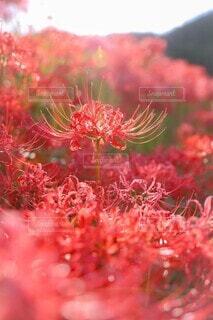 凛と咲く彼岸花の写真・画像素材[4416419]