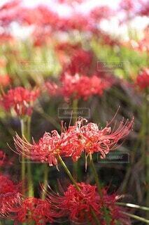 凛と咲く彼岸花の写真・画像素材[4416426]