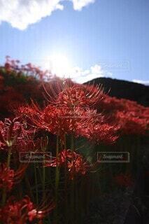 赤い彼岸花と青空の写真・画像素材[4416427]