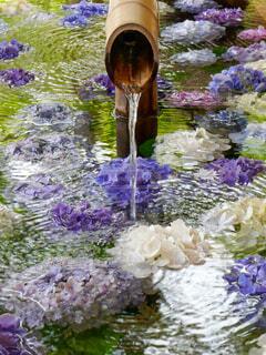 紫陽花の花が浮かべられた手水舎の写真・画像素材[4605378]
