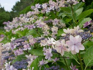 ガクアジサイの花々の写真・画像素材[4610051]