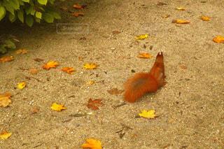 秋の地面とリスの写真・画像素材[4431570]