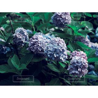 紫陽花の写真・画像素材[4465432]