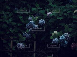 雨の日の紫陽花の写真・画像素材[4558746]