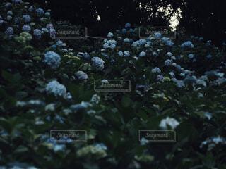 紫陽花の楽園の写真・画像素材[4561457]
