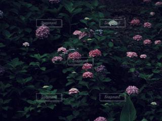 ピンクの紫陽花の写真・画像素材[4561458]