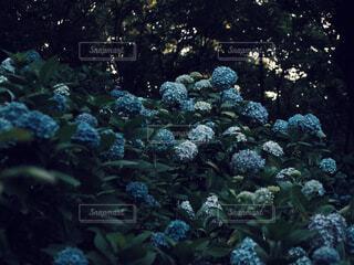 木漏れ日と紫陽花の写真・画像素材[4561459]