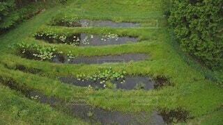 自然,草,空撮,草木,半夏生
