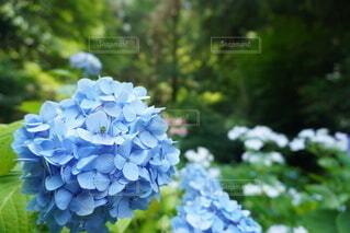青い紫陽花と緑の小さな虫の写真・画像素材[4602356]