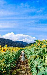 向日葵の夏の写真・画像素材[4678440]