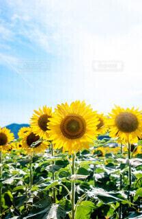 輝く黄色の写真・画像素材[4678441]