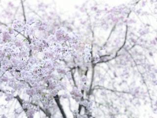 キラキラ八重桜の写真・画像素材[4431166]
