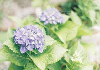 紫陽花の写真・画像素材[4431169]