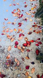 何気なく地面に目をやって感動の紅葉狩り🥺の写真・画像素材[1652306]
