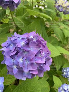 植物の紫色の花のクローズアップの写真・画像素材[4440104]