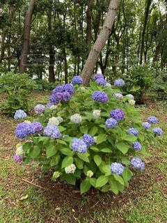 大きな紫色の花が庭にあるの写真・画像素材[4440105]