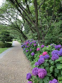 大きな紫色の花が庭にあるの写真・画像素材[4556555]