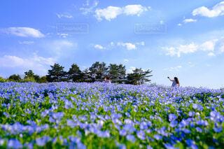 色鮮やかなネモフィラ畑の写真・画像素材[4462103]