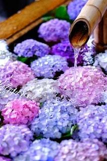 色とりどりの紫陽花の花手水の写真・画像素材[4564305]