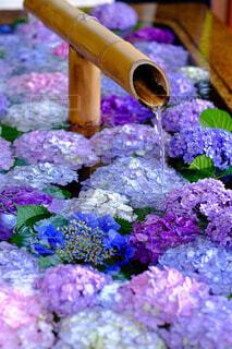 紫陽花浮かぶ花手水の写真・画像素材[4570769]