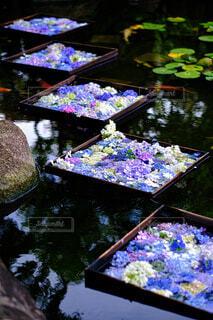 美しい紫陽花のスポットの写真・画像素材[4591618]