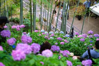 見頃の紫陽花の写真・画像素材[4591621]