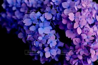 青と紫の紫陽花の写真・画像素材[4460683]