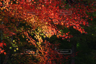 秋,紅葉,景色,愛知県,香嵐渓,行楽地