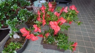 花,赤,植木鉢,観葉植物,草木,ポット,ガーデン,皐月