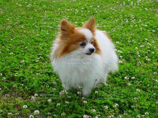 クローバーと犬の写真・画像素材[4462863]