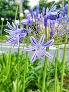 むらさきのお花さん。の写真・画像素材[4530814]