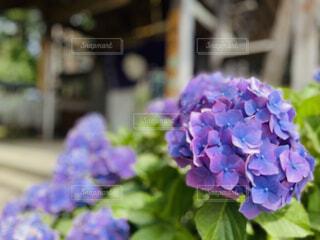 紫陽花の写真・画像素材[4549980]
