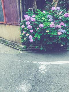 古い家の前に咲く紫陽花の写真・画像素材[4521111]