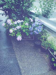 雨の日、道沿いに飾られた紫陽花と草木の写真・画像素材[4521112]