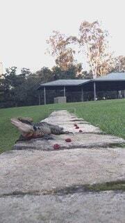 オーストラリア,ウォータードラゴン,Eastern Water Dragon