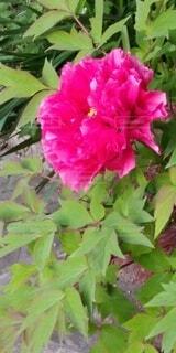 花,屋外,バラ,薔薇,草木,フローラ
