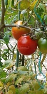 食べ物,果物,トマト,樹木,自然食品
