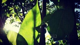 太陽を浴びる葉の光と影の写真・画像素材[4455433]