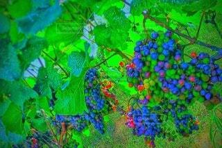 実りワイン葡萄・画像素材の写真・画像素材[4455318]