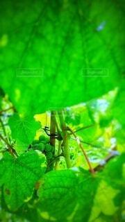 ワインの葡萄・画像素材の写真・画像素材[4455330]