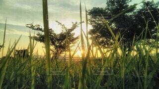 草むらの中から覗く夕日の写真・画像素材[4464316]