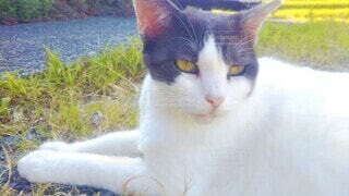 草の上でくつろぐ猫の写真・画像素材[4464383]