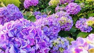 紫色の紫陽花の花の写真・画像素材[4560025]
