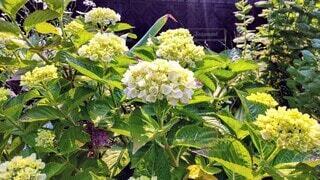 白い紫陽花の花の写真・画像素材[4560026]