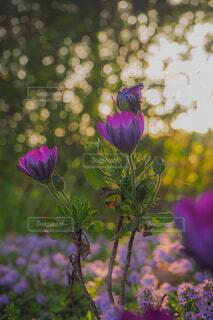 朝日と紫の花の写真・画像素材[4455520]