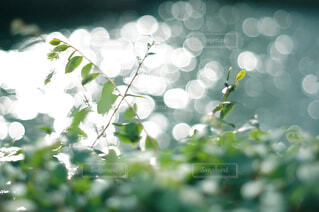 キラキラした水面と葉っぱの写真・画像素材[4463144]