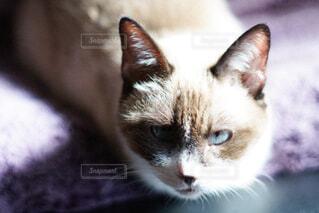キリッとした表情で見つめる猫の写真・画像素材[4464713]